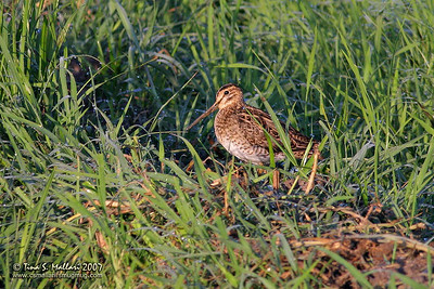 Greater Painted Snipe (Rostratula benghalensis) male