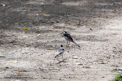 White Wagtail  (not a very good photo since it was really far.  I just wanted to show the difference of the backs of the 2 birds)