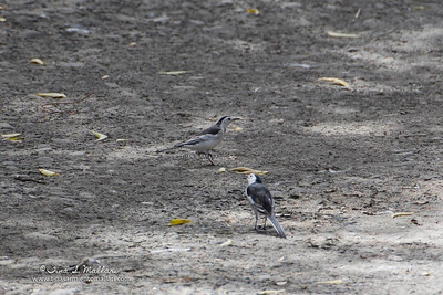 White Wagtail  (so sorry for the bad photo.  They were really far from where I was taking the photo)