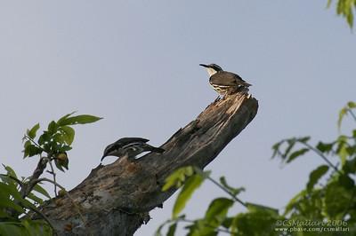 Stripe-headed Rhabdornis (Rhabdornis mystacalis) Philippine endemic