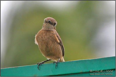 Pied Bushchat (Saxicola caprata) Female