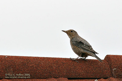 Blue Rock Thrush (Monticola solitarius) Female