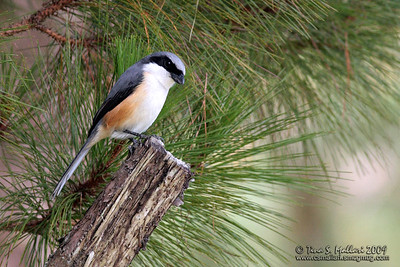 Mountain Shrike (Lanius validirostris) Philippine endemic