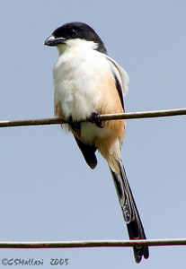 Long-tailed Shrike (Lanius schach) - adult