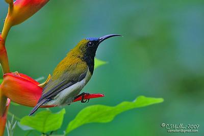 Flaming Sunbird (Aethopyga flagrans) Philippine Endemic