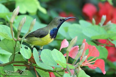 Olive Backed Sunbird (Nectarinia jugularis)