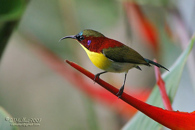 Handsome Sunbird (Aethopyga bella) Philippine endemic