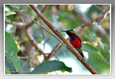 Purple Throated Sunbird (Nectarinia sperata) male