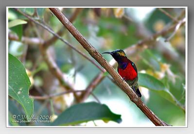 Purple Throated Sunbird (Nectarinia sperata) male