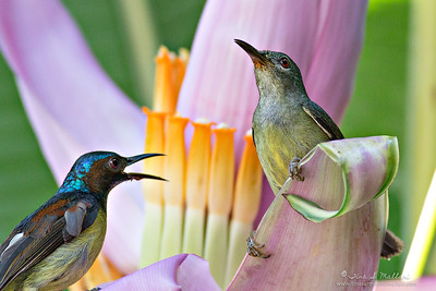 Grey Throated Sunbird  (Anthreptes griseigularis)