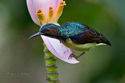 Grey Throated Sunbird