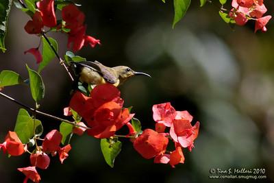 Olive-backed Sunbird (Nectarinia jugularis)