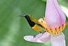 Flaming Sunbird