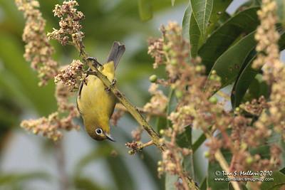 Yellowish White-eye (Zosterops nigrorum) a Philippine Endemic