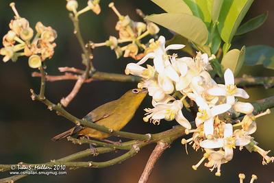 Yellowish White-eye