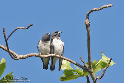 White-Breasted Wood Swallow (Artamus leucorynchus)