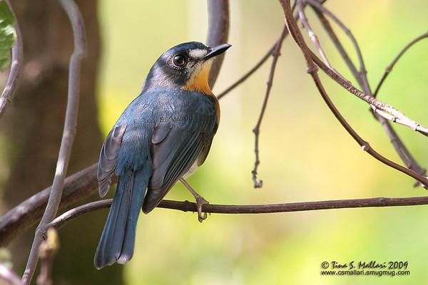 Mangrove Blue Flycatcher (Cyornis rufigastra blythi) endemic race