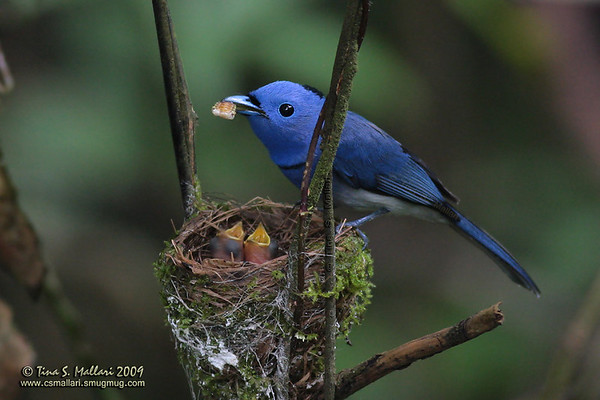 Black-naped Monarch (Hypothymis azurea) male