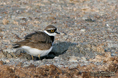 Little Ringed-Plover (Charadrius dubius)