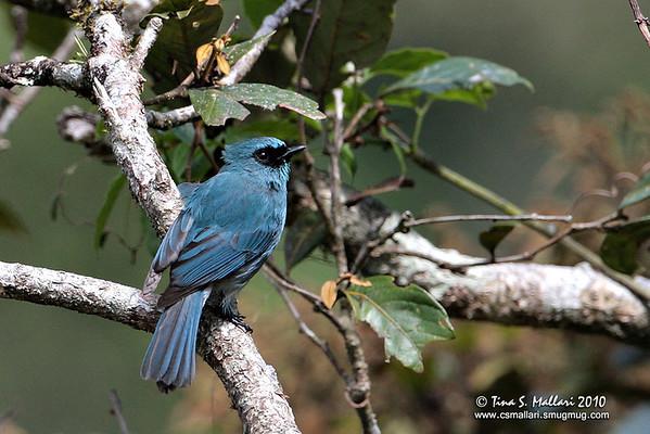 Island Verditer-Flycatcher (Eumyias panayensis) male