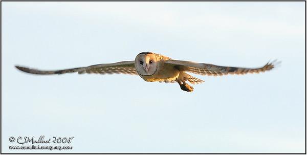 Grass Owl