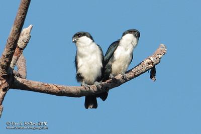 Philippine Falconet (Microhierax erythrogenys erythrogenys) a Philippine endemic