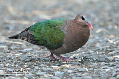 Common Emerald Dove (Chalcophaps indica)