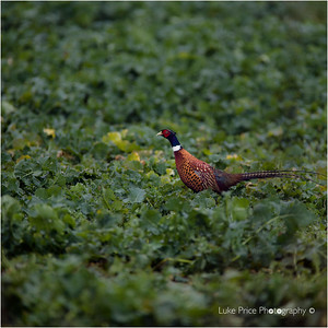 'Shooting Pheasants' - 7th Jan 2017