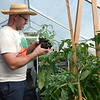Staff photo by Mark Hughes<br /> Andy Herringshaw checks out a young tomato plant in one of his greenhouses at his organic farm. Herringshaw is coordinating the opening of the Farmers Market, which is from 8 a.m. to noon Saturday at the Muskogee Civic Center at 425 Boston St. Several vendors will allow debit card purchases, and Supplemental Nutrition Assistance Program users will find their money is doubled, thanks to a federal grant.