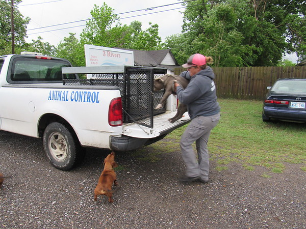 Staff photo by Cathy Spaulding<br /> Fort Gibson Animal Control Officer Brooke Brown loads a pit bull into a cage while a dachshund watches. The dogs were found near a grocery store.