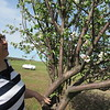 Staff photo by Cathy Spaulding<br /> Betty Jean Honea checks blossoms on an apple tree. She said she heard a bar of Irish Spring soap could keep deer from eating all the apples.