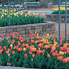 Staff photo by Mike Elswick<br /> Tulip blooms in the spring accent the gardens at Honor Heights Park Papilion earlier this year. Efforts have been made in recent years to expand blooming plants beyond the traditional azaleas with the planting of hundreds of bushes, trees and bulbs.