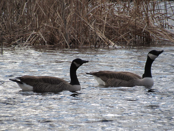 CATHY SPAULDING/Muskogee Phoenix<br /> A pair of geese paddle through a Spaulding Park pond on Thursday afternoon. Canada geese have congregated at ponds, puddles and other bodies of water recently.