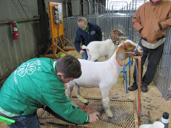 Staff photo by Cathy Spaulding<br /> Porum 4-H Club members Waylon Dishman, left, and Zec Ayers groom their goats for the Muskogee County Junior Livestock Show. This is the first year the show has been held at Love-Hatbox Sports Complex hangars.