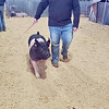 CHESLEY OXENDINE/Muskogee Phoenix<br /> Fort Gibson High School sophomore Trey Forrest guides his pig toward the showers during the kickoff for Muskogee County Junior Livestock Show on Tuesday morning.