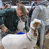Staff photo by Cathy Spaulding<br /> Gabe Taddei of Wagoner 4-H Club blow dries his goat in preparation for the wether goat show Tuesday at the Muskogee Regional Junior Livestock Show.