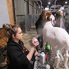 Staff photo by Cathy Spaulding<br /> Shelby Ross of Morris FFA sprays livestock sheen spray on the goat she showed at the Muskogee Regional Junior Livestock Show.