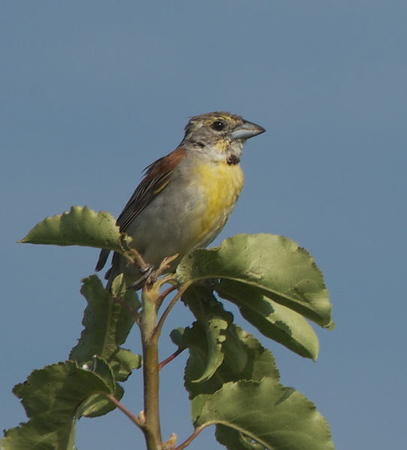 DEB HIRT/Special to the Phoenix<br /> Dickcissels begin assembling in larger and larger flocks that gradually coalesce into flocks of thousands. Winter roosts can number into the millions of birds.