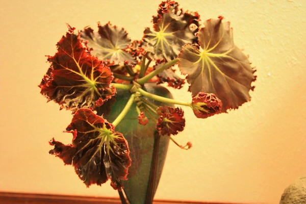 MOLLY DAY/Special to the Phoenix<br /> This stem cutting of Begonia Madame Queen is from the collection of Anita Whitaker in Muskogee. It will send out roots while looking pretty in a vase.