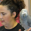 Staff photo by Cathy Spaulding<br /> Pearl, an African gray parrot, looks around while resting on Laura Waggoner's hand during Friday's presentation.