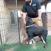Staff photo by Cathy Spaulding<br /> Gary Epperson tussles with the family Rottweiler, Diesel, and pit bull, Gracie. He said Gracie was a rescue dog.