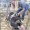 CATHY SPAULDING/Muskogee Phoenix<br /> Lexi Kirk of Keys 4-H Club moves her hog while brushing it Monday. She showed the hog at the Muskogee Regional Junior Livestock Show.