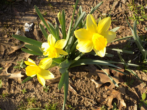 Special photo by Mike Elswick<br /> Several varieties of daffodils have been planted on the grounds of the historic Thomas-Foreman Home by members of the Muskogee Garden Club.