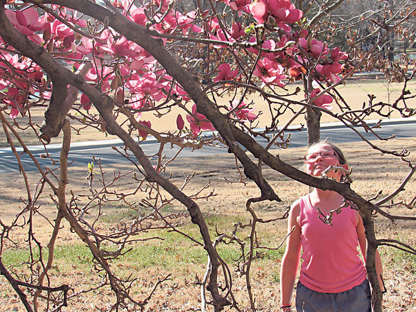 "Staff photo by Cathy Spaulding<br /> Trees and flowers are beginning to bloom at Honor Heights Park. Assistant Parks and Recreation Director Rick Ewing said star magnolia trees are showing their big blooms. Wild plum trees are blooming, and pear trees are ""just starting."" Huge tree blossoms dazzle Raelynn Thurber, 9, of Muskogee, during a visit to Honor Heights Park on Friday."