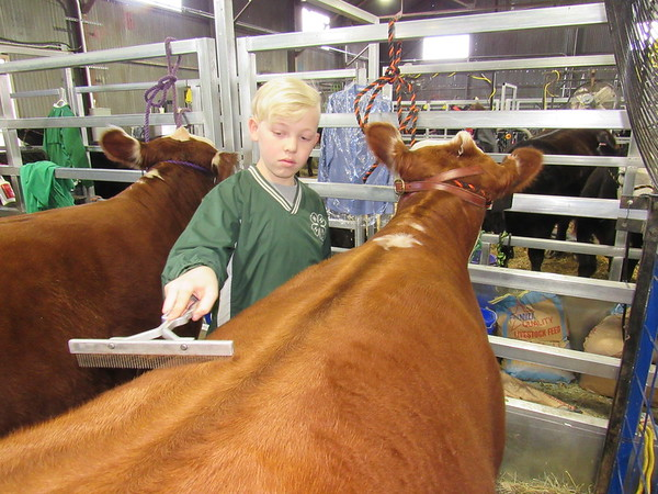 Staff photo by Cathy Spaulding<br /> Checotah 4-H Club member Ruger Oxtoby combs the coat of his Hereford heifer before showing it at the Muskogee Regional Junior Livestock Show. He said he was nervous about showing at such a large show.
