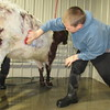Staff photo by Cathy Spaulding<br /> Wyatt Hunter, of Porter 4-H Club, lathers up his shorthorn heifer Thursday at the Muskogee Regional Junior Livestock Show.