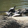 CATHY SPAULDING/Muskogee Phoenix<br /> Turtles bask in the sunlight at an Honor Heights Park pond. Lots of sunshine marked the first full day of spring Thursday. However, clouds are expected to roll in Friday with showers over the weekend, according to AccuWeather.com.