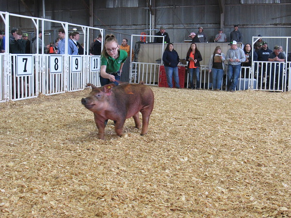 Staff photo by Cathy Spaulding<br /> Bristol Rogers of Fort Gibson 4-H Club coaxes her Duroc pig around the show ring Friday during the Muskogee Regional Junior Livestock Show.