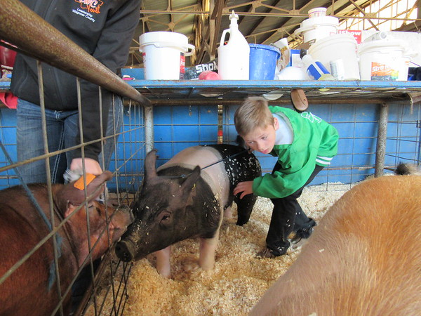 Staff photo by Cathy Spaulding<br /> Cash Robinson of Porter 4-H guides his Hampshire pig from its nest Friday at the Muskogee Regional Junior Livestock Show. Cash also showed a Duroc.
