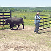 RONN ROWLAND/Muskogee Phoenix<br /> Robert Cruise, co-owner of Cruise Cattle Company — Triple C Farm in Haskell with his wife Tammy, opens the gate so one of his Black Angus bulls can come into the feeding area.